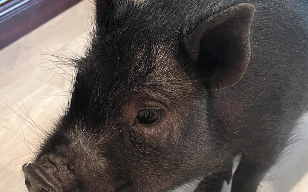 How a Pig Named Rufus Saved My Life